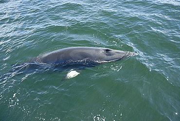 Very slowly, a curious Minke whale (Balaenoptera acutorostrata) surfaces spreading its pectoral fins perpendicular to its body. St. Lawrence estuary, Canada