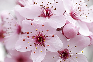 Cherry Plum blossom, Cultivated, Canberra, Australian Capital Territory, Australia - 994-12