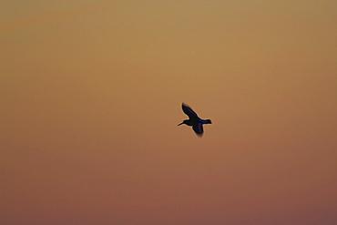 Oystercatcher (Haematopus ostralegus) flying, silhouetted against sunrise  Argyll Scotland, UK