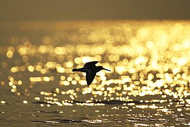 Oystercatcher (Haematopus ostralegus) flying, silhouetted against sunrise reflected in water Argyll Scotland, UK - 995-157
