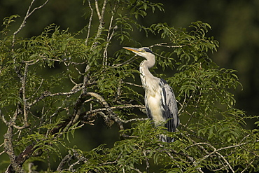Grey Heron (Ardea cinerea) perched in a tree looking to side, neck stretched. Herons occasionaly roost or perch in trees. This one was perched while having a preen and stayed there for atleast 3 hours..  Argyll, Scotland