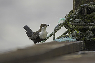 Dipper (Cinclus cinclus) perching on pier with old sailing rope in background. Dippers often perch on rocks, fence posts and piers surveying the water, calling or just having a good preen. .  Argyll, Scotland