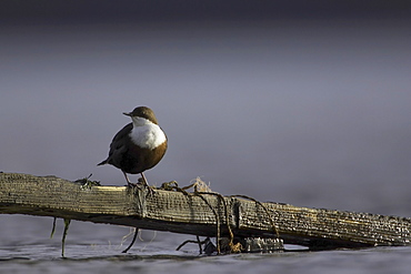 Dipper (Cinclus cinclus) perched on broken fence submerged in water. Argyll, Scotland, UK