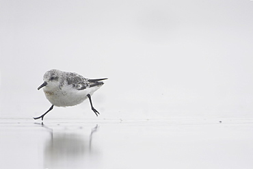 Sanderling (Calidris alba) sprinting across a shallow film of water on sandy beach, with a reflection of itself below. Soroby. Argyll,. Scotland, UK
