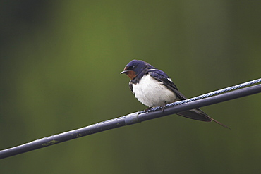 Swallow (Hirundo rustica) preening on power lines and cables, front facing. Swallows often perch on power lines and telephone cables, calling, resting and preening..  Argyll, Scotland