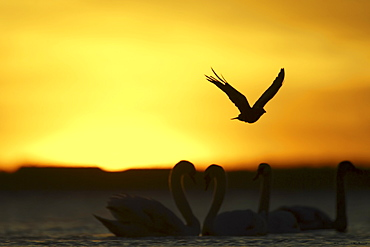 Carrion Crow (Corvus corone corone) silhouetted in mid flight, against sunrise with Mute Swans (Cygnus cygnus) in foreground. Angus, Scotland, UK