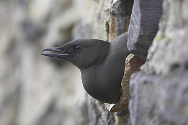 Black Guillemot (Cepphus grylle) calling while sitting in a drain pipe that a pair are nesting in. Black Guillemots nest in drains and holes in the sea wall in the middle of Oban town centre. Argyll, Scotland, UK