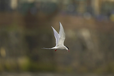 Arctic Tern (Sterna paradisaea) flying  in Oban town centre with fish in mouth. Oban. Argyll. Scotland, UK