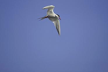 Common Tern (Sterna hirundo) flying in Oban town centre while fishing. Oban, Argyll. Scotland, UK