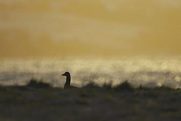 Greylag Goose (Anser anser), silhouetted against early morning sun while feeding in long beach grass. Argyll, Scotland, UK