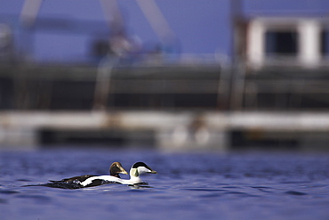 Eider duck (Somateria mollissima), male and juvenile swimming past a fish farm, tend to raft there in the winter.