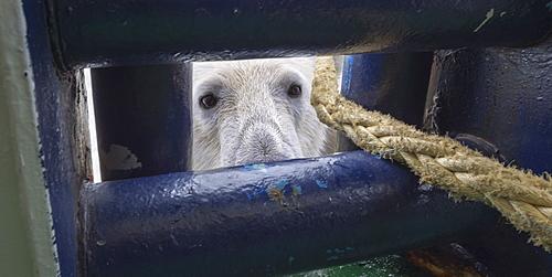 Polar Bear (Ursus maritimus) looking through an opening in ship's deck, Svalbard Archipelago, Arctic, Norway, Europe