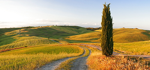 Tuscan landscape with cypress tree, near San Quirico, Val d'Orcia (Orcia Valley), UNESCO World Heritage Site, Siena Province, Tuscany, Italy, Europe