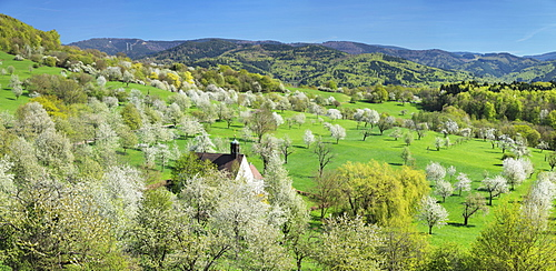 Cherry blossom at Berghausen Chapel, Ebringen, Markgrafler Land, Black Forest, Baden-Wurttemberg, Germany, Europe