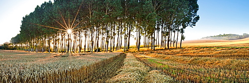 Poplar trees, Chillac, Charente, France, Europe