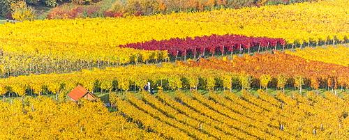 Vineyard Kappelberg, Herbst, Baden-Wurttemberg, Germany, Europe - 1244-5
