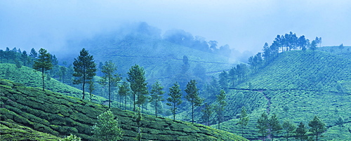 Munnar, Western Ghats Mountains, Kerala, India, Asia