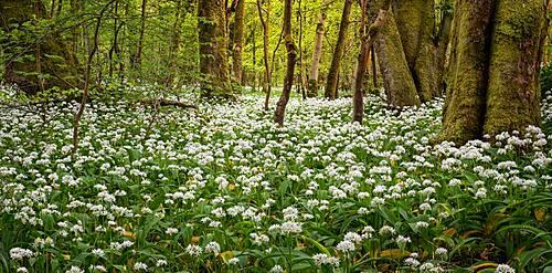 In the garlic woods near Lennox Castle in Lennoxtown, East Dunbartonshire, Scotland, United Kingdom, Europe - 1287-116