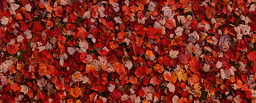 Maple leaves, Maine, New England, United States of America, North America