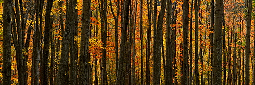 Aspen and maple trees, Maine, New England, United States of America, North America