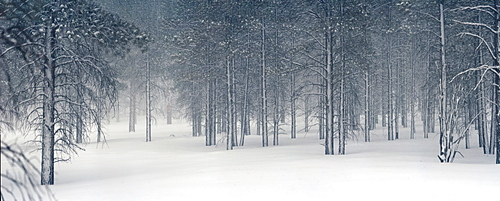 Pine trees in snow, Utah, USA
