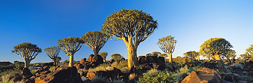 Quiver Trees, Namibia, Africa.