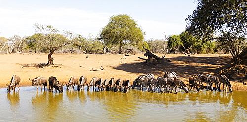 Blue wildebeest (Connochaetes taurinu) and Plains zebra (Equus quagga), Mkhuze Game Reserve, Kwazulu-Natal, South Africa, Africa