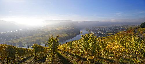 Moselschleife and vineyards, Kröv, morning light, Rhineland-Palatinate, Germany, Europe