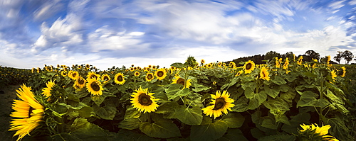 Sunflower field, Brandenburg, Germany, Europe