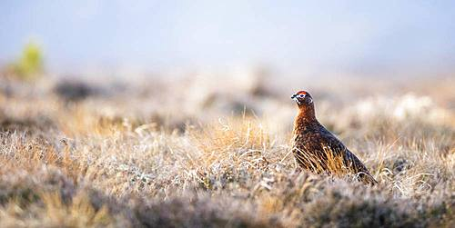 Red Grouse (Lagopus lagopus scotica) in heathland, Highlands, Scotland, United Kingdom, Europe