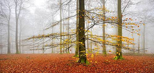 Beeches forest (fagus) with last yellow leaves in autumn, bare trees and fog, Kellerwald-Edersee National Park, Hesse, Germany, Europe