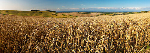 Panoramic of golden wheatfield below Devil's Punchbowl on Hackpen Hill, Wantage, Oxfordshire, England, United Kingdom, Europe