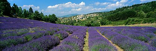 Field of purple lavender below the village of Aurel, Aurel, Vaucluse Department, Provence Alpes Cote d'Azur, France, Europe