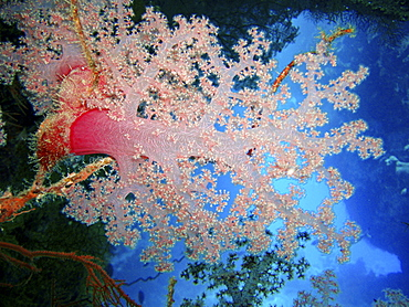 Coral species. Southern Red Sea, Egypt. - 1022-33