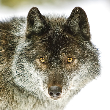 Close-up portrait of a wolf (Canis lupus) looking into the camera; Golden, British Columbia, Canada