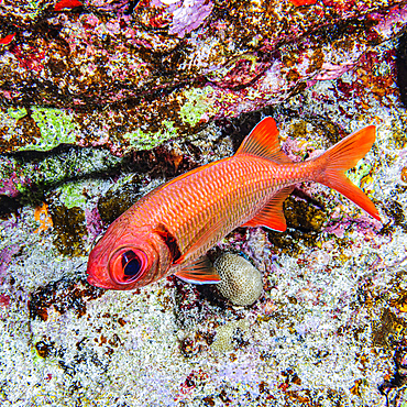 A Pearly Soldierfish (Myripristis kuntee) that was photographed under water while scuba diving at Molokini Crater which is located offshore of Maui; Molokini Crater, Maui, Hawaii, United States of America