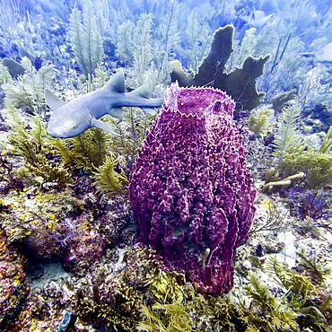 Nurse shark (Ginglymostoma cirratum), viewed while scuba diving at Queens Caye, Placencia Peninsula; Belize
