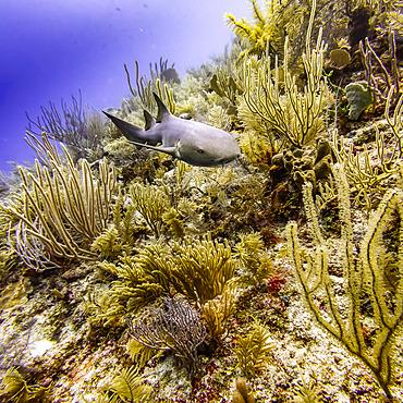 Nurse shark (Ginglymostoma cirratum), viewed while scuba diving at Silk Caye, Placencia Peninsula; Belize