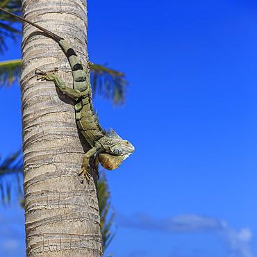 Green iguana (iguana iguana) in profile with raised head against blue sky, Orient Beach, St. Martin (St. Maarten), West Indies, Caribbean, Central America
