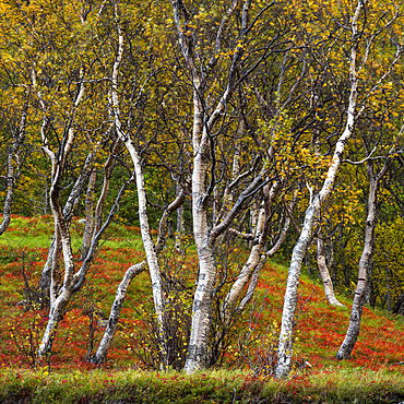 Silver birch (Betula pendula), Anderdalen National Park, Senja, Norway, Scandinavia, Europe