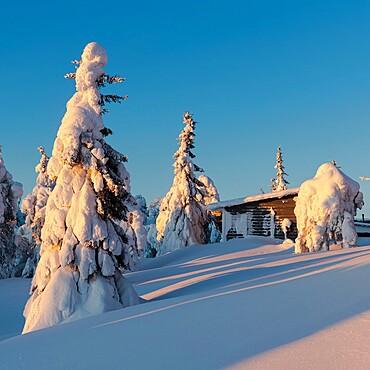 Snow laden trees and cabin, Kuusamo, Finland, Europe