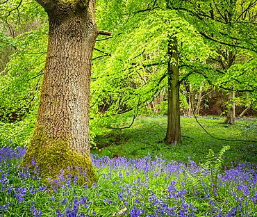 Bluebells, Harewood House, near Harrogate, North Yorkshire, Yorkshire, England, United Kingdom, Europe