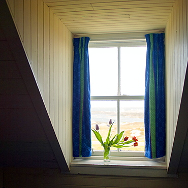 Tulips in the window of an old croft house, Isle of Colonsay, Scotland, United Kingdom, Europe
