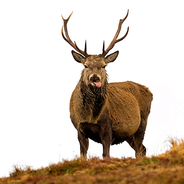 Red Deer Stag sticking out tongue, Scottish Highlands, Scotland, United Kingdom, Europe