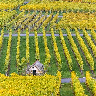 Vineyard Kappelberg, Herbst, Baden-Wurttemberg, Germany, Europe - 1244-3