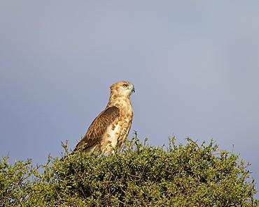 Black-breasted snake eagle (black-chested snake eagle) (Circaetus pectoralis), immature, Kgalagadi Transfrontier Park encompassing the former Kalahari Gemsbok National Park, South Africa, Africa