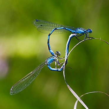 Azure Damselfly (Coenagrion puella) mating