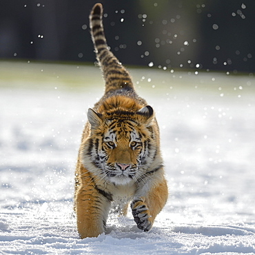 Siberian tiger (Panthera tigris altaica) juvenile running in snow, captive, Moravia, Czech Republic, Europe