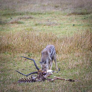 Black-backed jackal (Canis mesomelas) feedin on the remains of a killed impala (Aepyceros melampus), Okavango Delta, Botswana, Africa