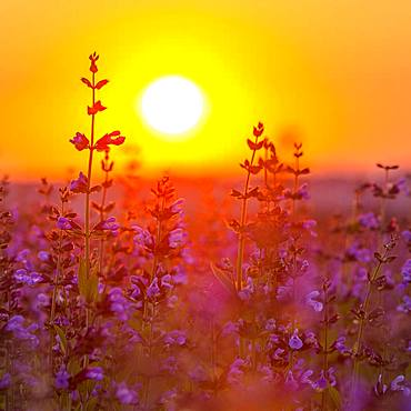 Sunrise over a field with flowering sage (salvia officinalis), cultivation, Freital, Saxony, Germany, Europe - 832-384541
